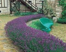 250 - Bulk Lavender Seeds - Munstead - Heirloom Lavender Seeds, Bulk Lavender Seed, Heirloom Herb Seed, Non-Gmo Seeds, Medicinal Herb Seeds