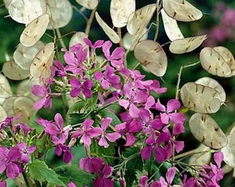 50 -  Heirloom Money Plant Seeds - Violet - Lunaria Seeds, Honesty Seeds, Silver Dollar Seeds, Purple Money Plant Seeds, Violet Money Plant