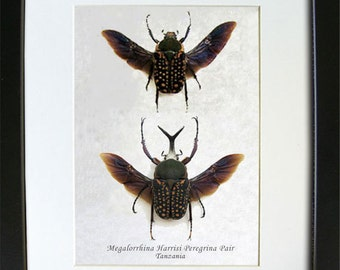 PAIR Flying Split Horn Megalorrhina Harrisi Real Beetles Museum Quality In Shadowbox