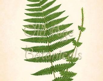 Fern Print Lowe 11x14 Botanical Vintage Antique Art Plate ASPIDIUM OREOPTERIS Plant Nature Home Decor Illustration Reproduction LFC0303
