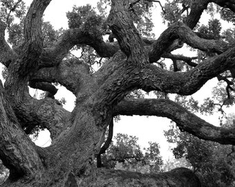 """Print of """"Branching Out"""" Black and White Photography, Oak Trees, Nature Photography"""