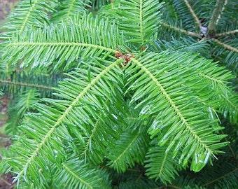 2lb Dried Balsam Fir Needles - Christmas Tree Needles - Bulk Balsam Fir