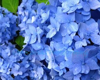 Blue Hydrangea Flower Photograph; Fine Art FLORAL Photography, Blue flowers hydrangea plant wall art home decor 5x7 8x10 11x14 16x20 picture