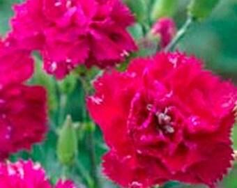 Carnations- Magenta- 50 Seeds
