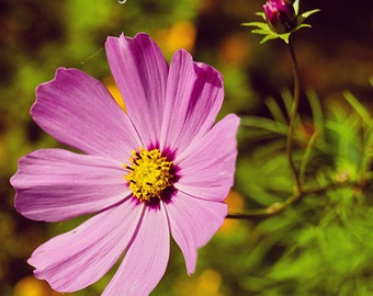 Cosmos flower photography print, Fine Art Photography, pink cosmos print, flower photography, cosmos flower print, botanical print, wall art