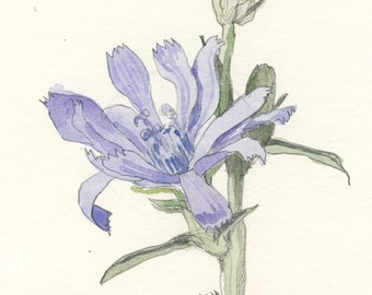 Chicory watercolor, blue flowers ORIGINAL watercolor & pencil drawing. 8 x 11.5 inches. Botanical art by Catalina S.A