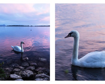 Photo prints - swan in a pink lake - home decor