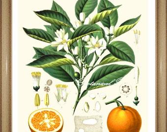"Citrus Print. No.2 Oranges. Fruit Print. Fruit Wall Art. Oranges Print 5x7"" 8x10"" 11x14"" 13x19"""