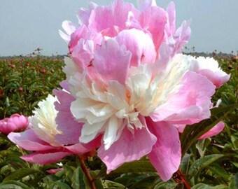 1 Sorbet Peony Bush LIVE Plant 3-5 eye SPRING PLANTING ~Winter Hardy Perennial