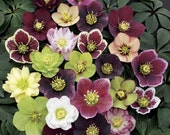 3 Lenten Rose/ Hellebores: One Plant each in Three 4 Inch Pots-- Great for Fall Planting!
