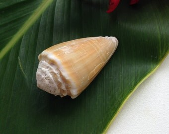 Hawaii Sea Shells Kauai Specimen Spiteful Cone Gem of the Sea 50mm