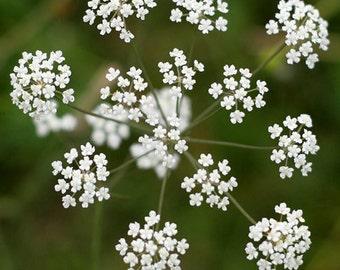 Caraway Herb Seeds (Carum Carvi) 200+Seeds