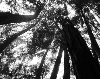 Black & White Nature Photography**Still Life Photography**Redwoods Print**Santa Cruz,CA**Beanstock (like Jack and the Beanstock)