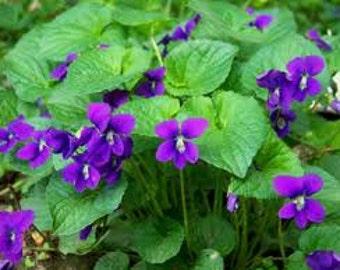 Old Fashion Violet, Viola oderata, Sweet Violet