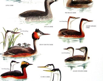 Vintage Bird Print - Little Grebe, Horned Grebe, Hooded Grebe, Atitlian Grebe, Great Crested Grebe - 1990 Vintage Book Page - 11 x 9
