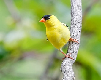American Goldfinch Male - Bird Photo - Bright Yellow - Nature Wall Art - Sunny Finch