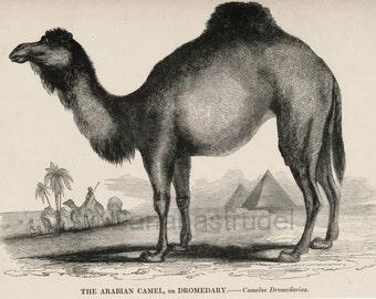 1840s-1850s Antique Engraving of the Arabian Camel (Dromedary)