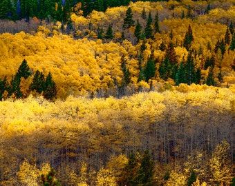Aspen - Rocky Mountain National Park - Fall Foilage - Mountains - Autumn - Autumn in the Mountains - Fine Art Photography