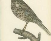 Mistle Thrush, Vintage Bird Print, Ornithology 107, Natural History 1959, Demartini, Country Cottage Decor, Rustic Cabin Decor, 8 x 10