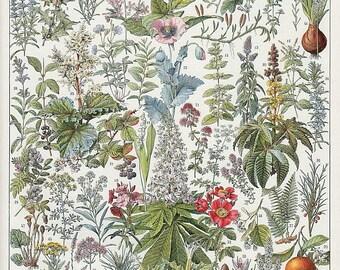 antique french medicinal plants botanical print DIGITAL DOWNLOAD