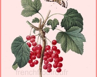 antique french botanical print red currant goosberries print DIGITAL DOWNLOAD
