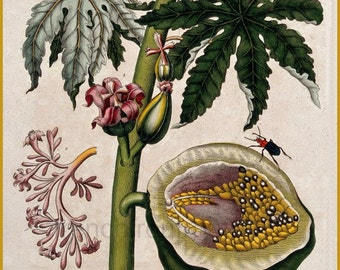 antique botanical print papaya tree and fruit botanical illustration DIGITAL DOWNLOAD