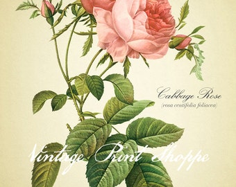 Girl Room Decor Shabby Chic Pink Rose art reproduction print 5x7 print Vintage Botanical Home Decor Naturalist Redoute roses floral art