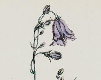 1863 Antique FLOWER print, handcolored Hair Bell. Original antique botanical print of wild flowers