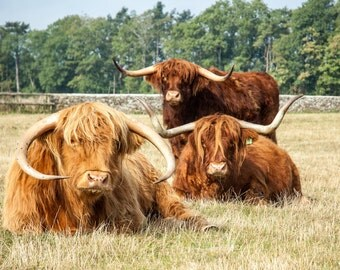 Highland Cattle 4 - Fine Art Photography - Highland Cow - Nature Photography