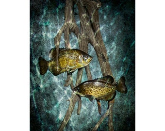 Black Crappie Pan Fish swimming among Dead Tree Roots No.0143BL - A Fine Art Nature Photographic Print