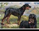 Rottweiler Vintage Dog Print, Edward Herbert Miner, 1940s, Rottweil Germany, Wall Decor