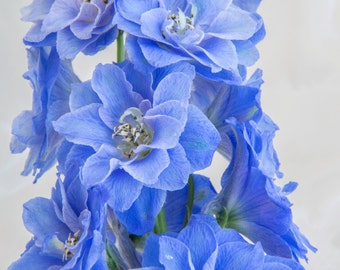 Periwinkle Blue Flower Botanical Print -Fine Art Photograph - Deep Blue Delphinium Floral Wall Art - Home Decor