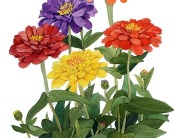 Multicolor Zinnia Group Watercolor Reproduction by Wanda Zuchowski-Schick