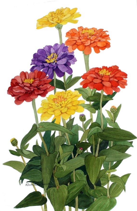 Zinnia Group Zinnia Multicolor Zinnia Group