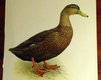 JF Lansdowne Print Book Plate Art, Black Duck
