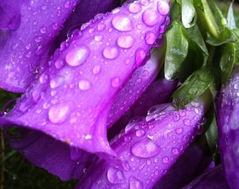 Dew Drops on Foxgloves