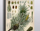 Antique 1800s Pine Tree Print Botanical Print Science Chart Botanical Art Illustration Art Print Wall Decor Poster Plants Trees Nature