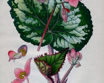 Antique Print - Anne Pratt - 1800's - Bookplate - Lithograph - Vintage Print - Chromolithograph - Botanical Print - Flowers - Begonia