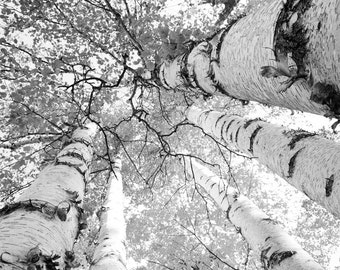 Birch tree art print, Door County photo, black and white trees, large paper canvas wall decor, picture gift 5x7 8x10 11x14 16x20 24x36 30x45