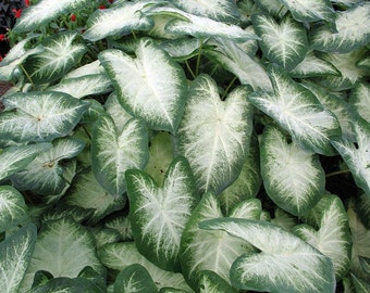 Fancy Aaron Caladium - 3 Bulbs - Frosty White/Green Edge