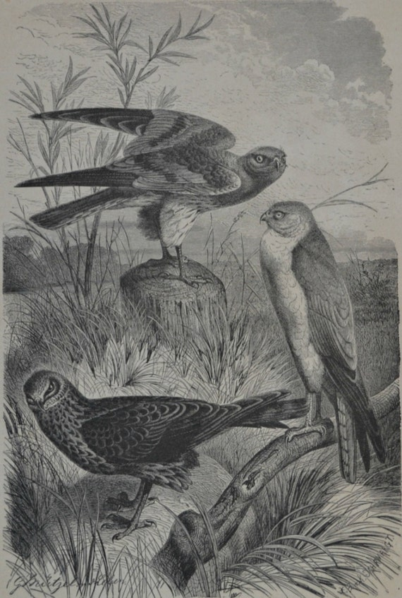 Hawks print. Buzzards. Birds. Natural history engraving. Antique illustration 124 years old. 1890 lithograph. 9 x 12'3 inches.