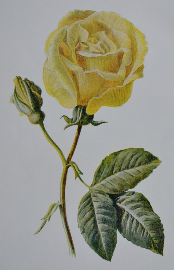 Rose Maréchal Neil print. Old color print.107 years old illustration.Antique lithograph. 1907. Botany print. 7'4 x 5'1 inches or 19 x 13 cm.