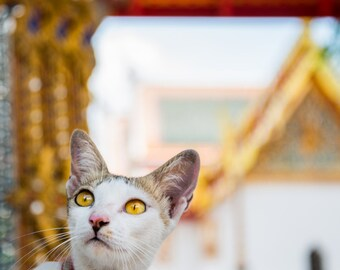 Thailand Temple Cat Photo Print 8x10, 11x14, 16x20 or canvas