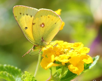 Butterfly Art Print Nature Photography Yellow Butterfly Photo Gifts Floral Home Wall Decor Fine Art Print
