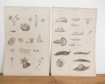 Antique Victorian Engravings, Natural History Prints. Sea Creature Specimen Illustration, 1860s Mollusc and Coral Drawings, Science Wall Art