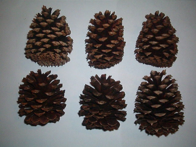 Georgia Pine Cones *SIX* 3 to 31/2 inches great for Wreaths/Declarations and many beautiful uses bird feeders love them