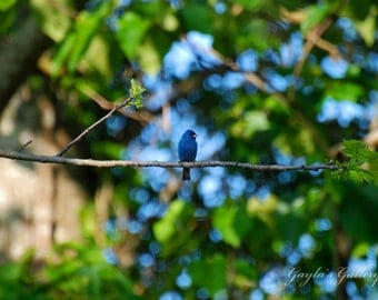 Indigo Bunting, Bird Photography, Nature Photography, Blue Bird Photos, Bird on Limb,Wildlife, Blue and Green Decor