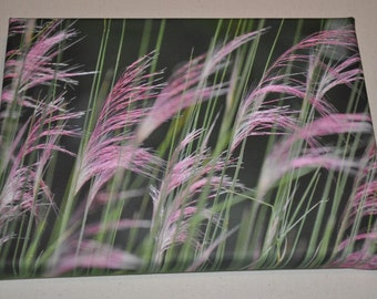 Pink grass blowing in the wind
