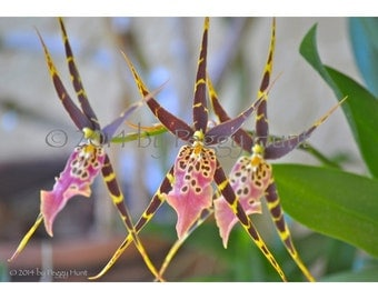 Orchid Spider Pink and Burgundy Photograph