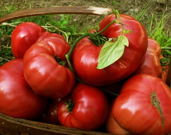 75+ Pink Brandywine Tomato Seeds- Heirloom Variety